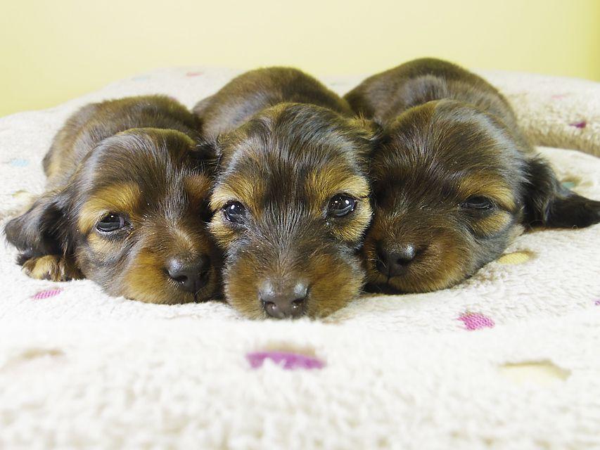 ダックスフンド子犬の出産報告 2016年