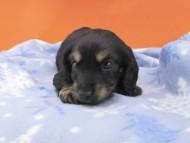 ジャム & ブルースの子犬 ブラックイエロー(ブラッククリーム) 男の子(1)