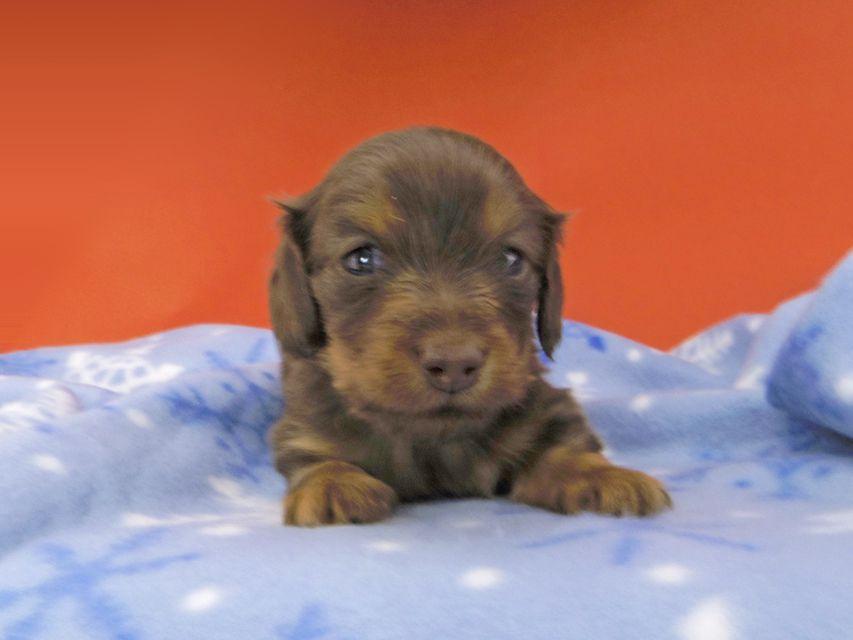 カニンヘンダックスフンド プリマ & ブルースの子犬 チョコタン 男の子