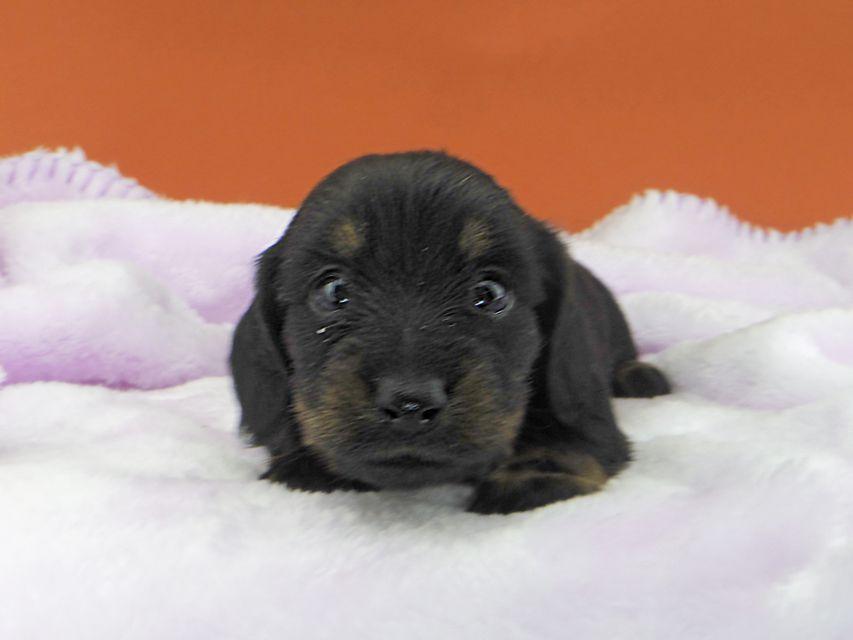 カニンヘンダックスフンド ジルcs & ブルースの子犬 ブラックタン 女の子