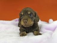 ジルcs & ブルースの子犬 チョコイエロー(チョコクリーム) 女の子