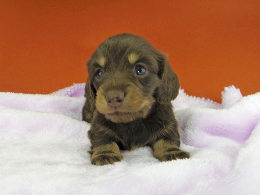 カニンヘンダックスフンド ジルcs & ブルースの子犬 チョコイエロー(チョコクリーム) 女の子