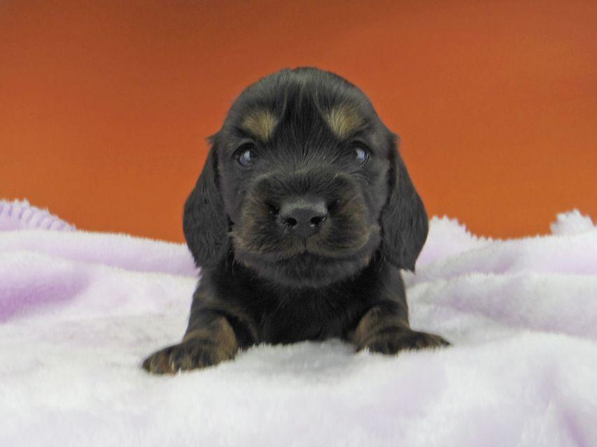 ミニチュアダックスフンド ジャジー & ジムの子犬 ブラックタン 男の子