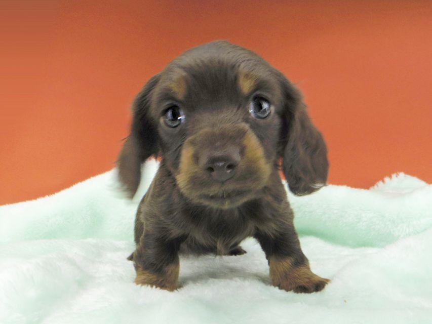 カニンヘンダックスフンド ジャム & ブルースの子犬 チョコタン 女の子