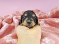 キュア & スカッシュの子犬 ブラックイエロー(ブラッククリーム) 女の子