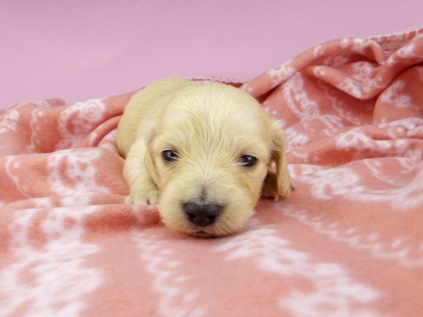 カニンヘンダックスフンド キュア & スカッシュの子犬 イエロー(クリーム) 女の子