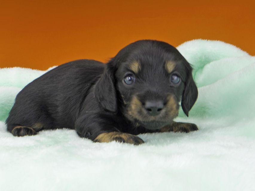 カニンヘンダックスフンド KT & ブルースの子犬 ブラックイエロー(ブラッククリーム) 男の子