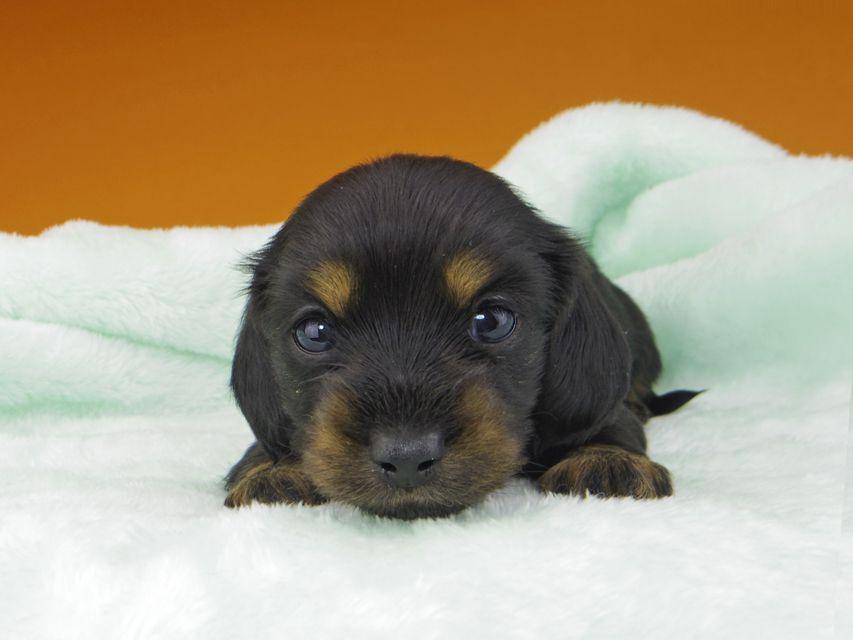 カニンヘンダックスフンド KT & ブルースの子犬 ブラックタン 女の子