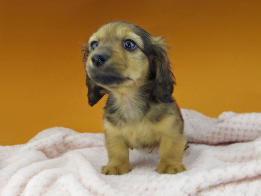 カニンヘンダックスフンド ププリン & ブルースの子犬 レッド 男の子
