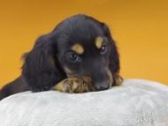 ジャジー & ジムの子犬 ブラックタン 男の子