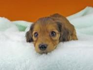 キュア & スカッシュの子犬 レッド 男の子
