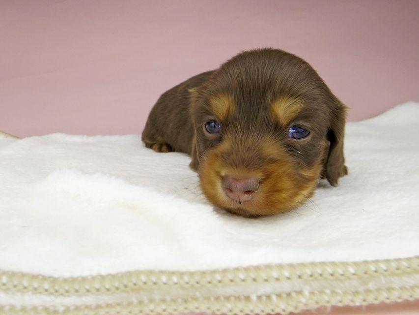 ミニチュアダックスフンド ココcs & ブルースの子犬 チョコタン 女の子(1)
