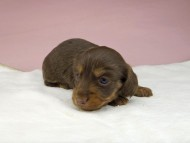 ココcs & ブルースの子犬 チョコタン 女の子(2)