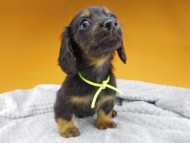 ルチアhp & ブルースの子犬 ブラタン 男の子