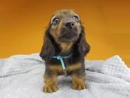 ルチアhp & ブルースの子犬 レッド 男の子