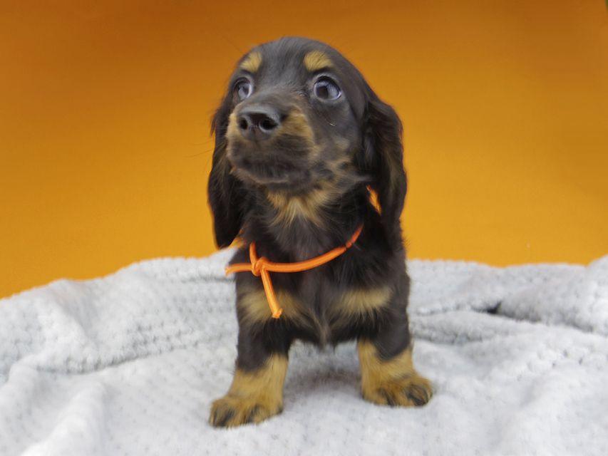 ミニチュアダックスフンド ルチアhp & ブルースの子犬 ブラタン 女の子(1)