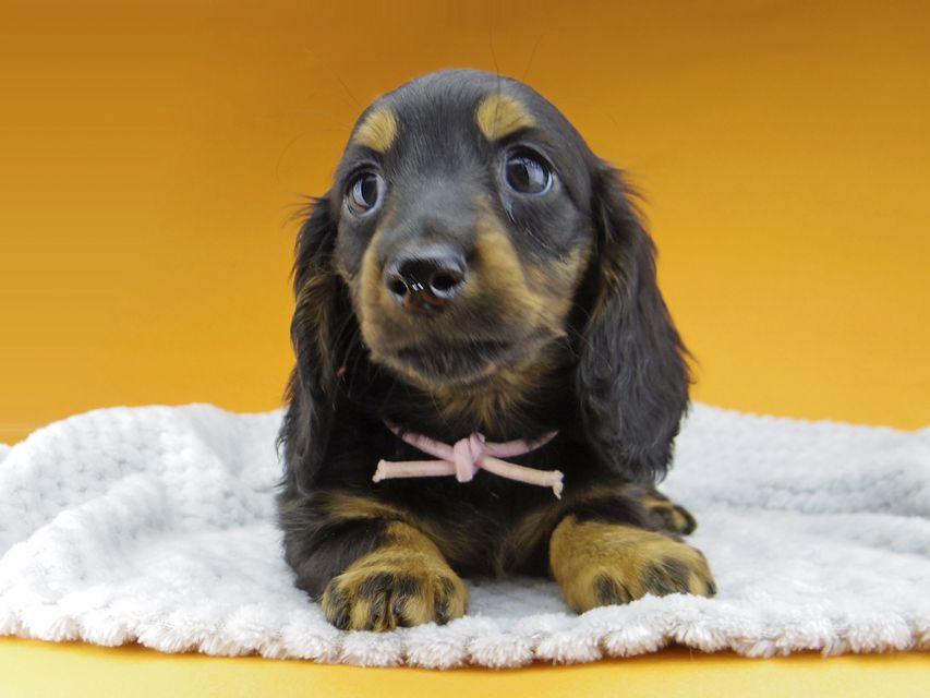 ミニチュアダックスフンド ルチアhp & ブルースの子犬 ブラタン 女の子(2)