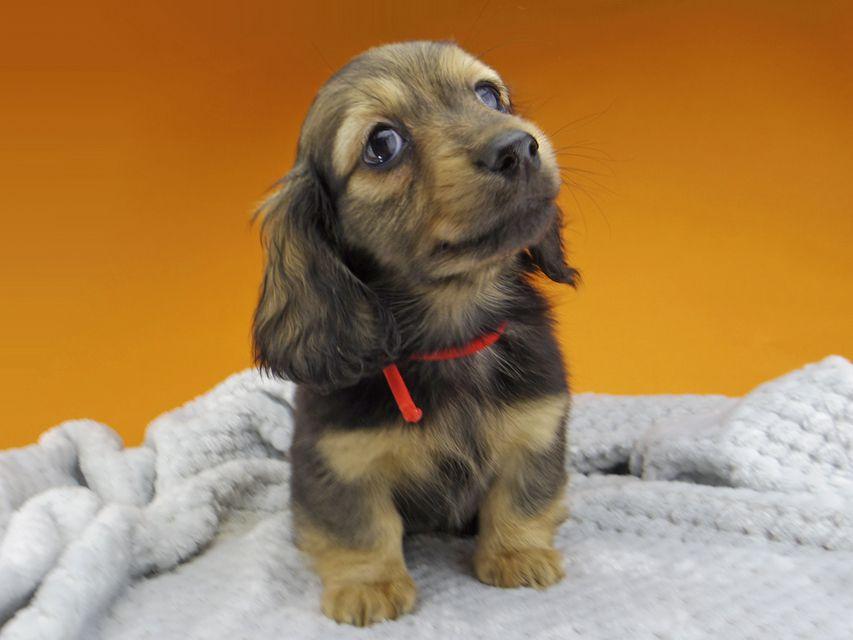 ミニチュアダックスフンド ルチアhp & ブルースの子犬 イエロー(クリーム) 女の子