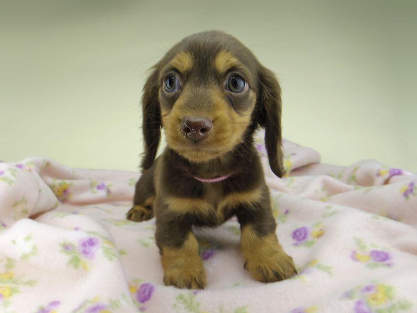 カニンヘン ダックスフンド ココcs & ブルースの子犬 チョコタン 女の子(1)