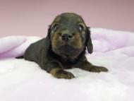 オーロラ & ロックスの子犬 レッド 男の子