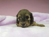 オーロラ & ロックスの子犬 イエロー(クリーム) 女の子(1)