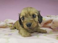 メロディ & ジムダンディの子犬 イエロー 女の子