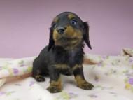 アイビー & フレディの子犬 ブラタン 男の子