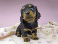 アイビー & フレディの子犬 ブラタン 女の子(1)