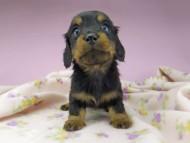アイビー & フレディの子犬 ブラタン 女の子(2)