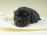 小町hp & ブルースの子犬 ブラタン 女の子