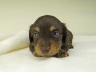 小町hp & ブルースの子犬 チョコイエロー(チョコクリーム) 女の子