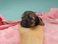 シール & ブルースの子犬 イエロー(クリーム) 女の子(1)