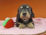 コリン & スカッシュの子犬 ブラックイエロー(ブラッククリーム) 女の子