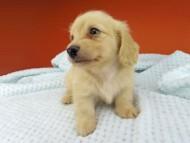 コリン & スカッシュの子犬 イエロー(クリーム) 男の子