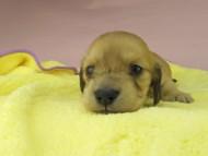 シャーロットcs & たけるの子犬 イエロー(クリーム) 女の子(2)