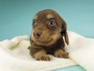 パセリkk & ナイトの子犬 チョコイエロー(チョコクリーム) 女の子
