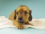 シャーロットcs & たけるの子犬 レッド 男の子