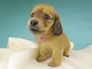 シャーロットcs & たけるの子犬 イエロー(クリーム) 女の子(1)