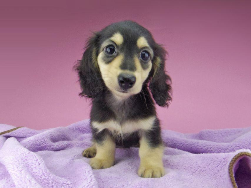 カニンヘン ダックスフンド コリン & スカッシュの子犬 ブラックイエロー(ブラッククリーム) 女の子