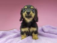 シール & ブルースの子犬 ブラックタン 男の子