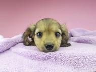 シール & ブルースの子犬 イエロー(クリーム) 女の子(2)