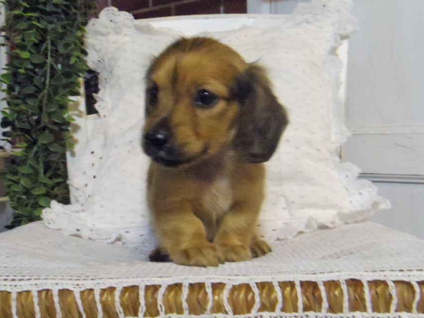 カニンヘン ダックスフンド シャーロットcs & たけるの子犬 レッド 男の子