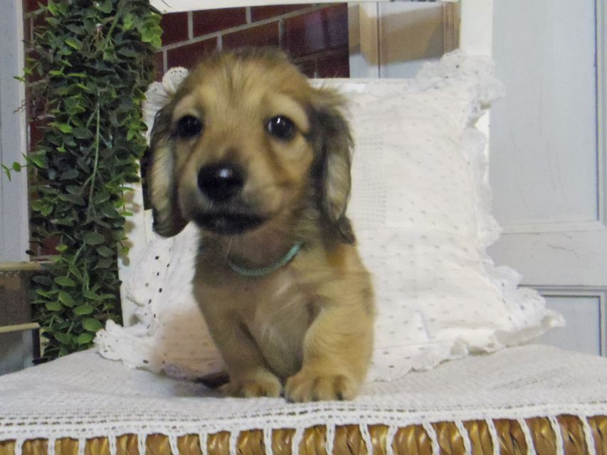 カニンヘン ダックスフンド シャーロットcs & たけるの子犬 イエロー(クリーム) 男の子