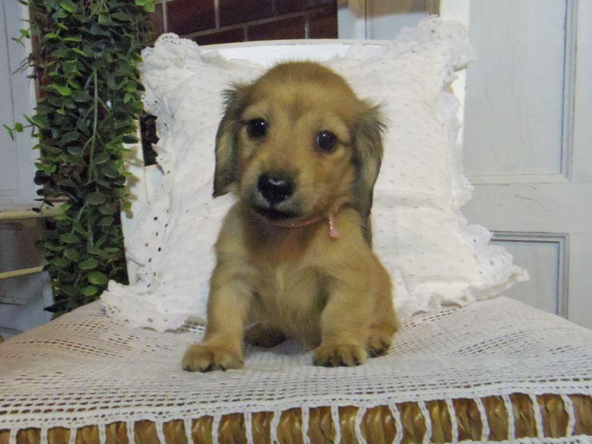 カニンヘン ダックスフンド シャーロットcs & たけるの子犬 イエロー(クリーム) 女の子(1)