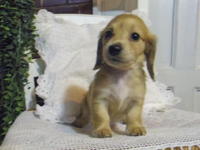 カニンヘン ダックスフンド シャーロットcs & たけるの子犬 イエロー(クリーム) 女の子(2)