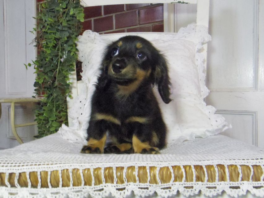 カニンヘン ダックスフンド 小町hp & ブルースの子犬 ブラタン 女の子
