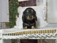 パセリkk & ナイトの子犬 ブラックイエロー(ブラッククリーム) 男の子