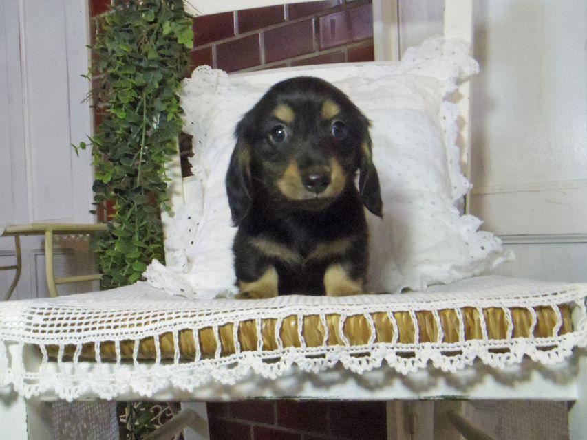 カニンヘン ダックスフンド パセリkk & ナイトの子犬 ブラックイエロー(ブラッククリーム) 男の子