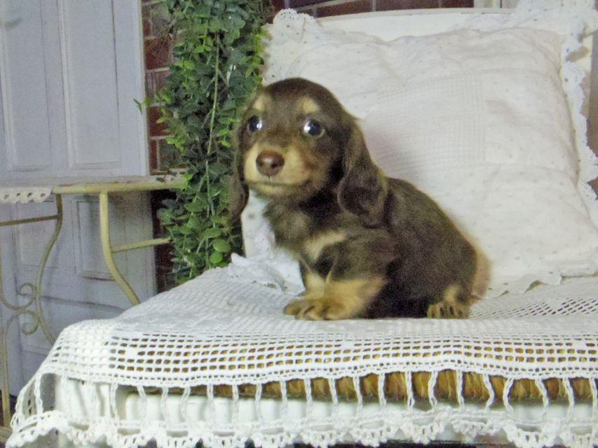 カニンヘン ダックスフンド パセリkk & ナイトの子犬 チョコイエロー(チョコクリーム) 女の子