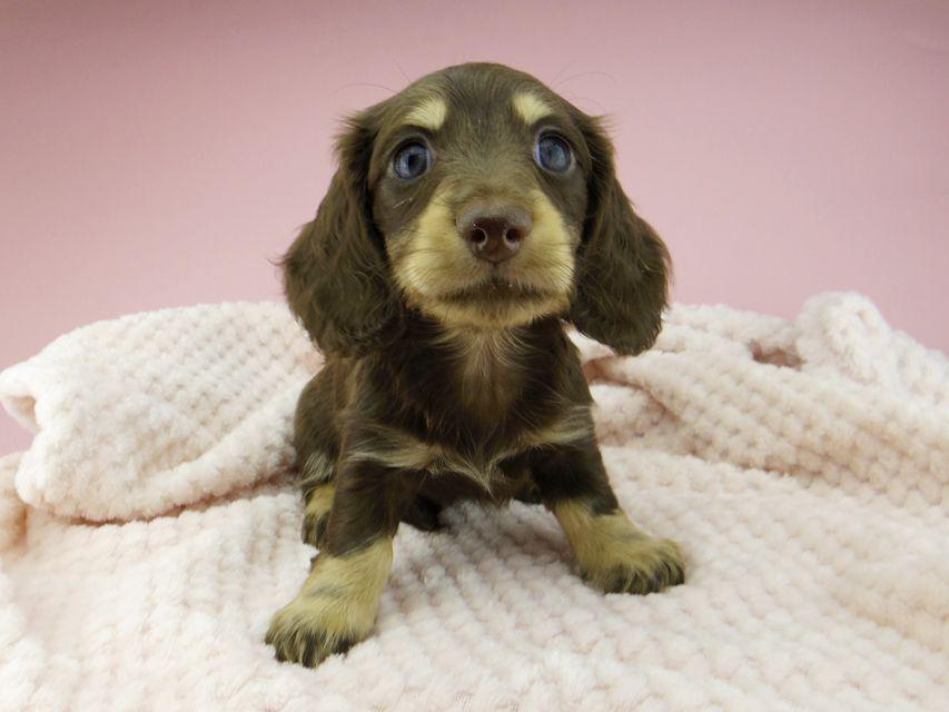 カニンヘン ダックスフンド ジャム & スルガの子犬 チョコイエロー(チョコクリーム) 男の子
